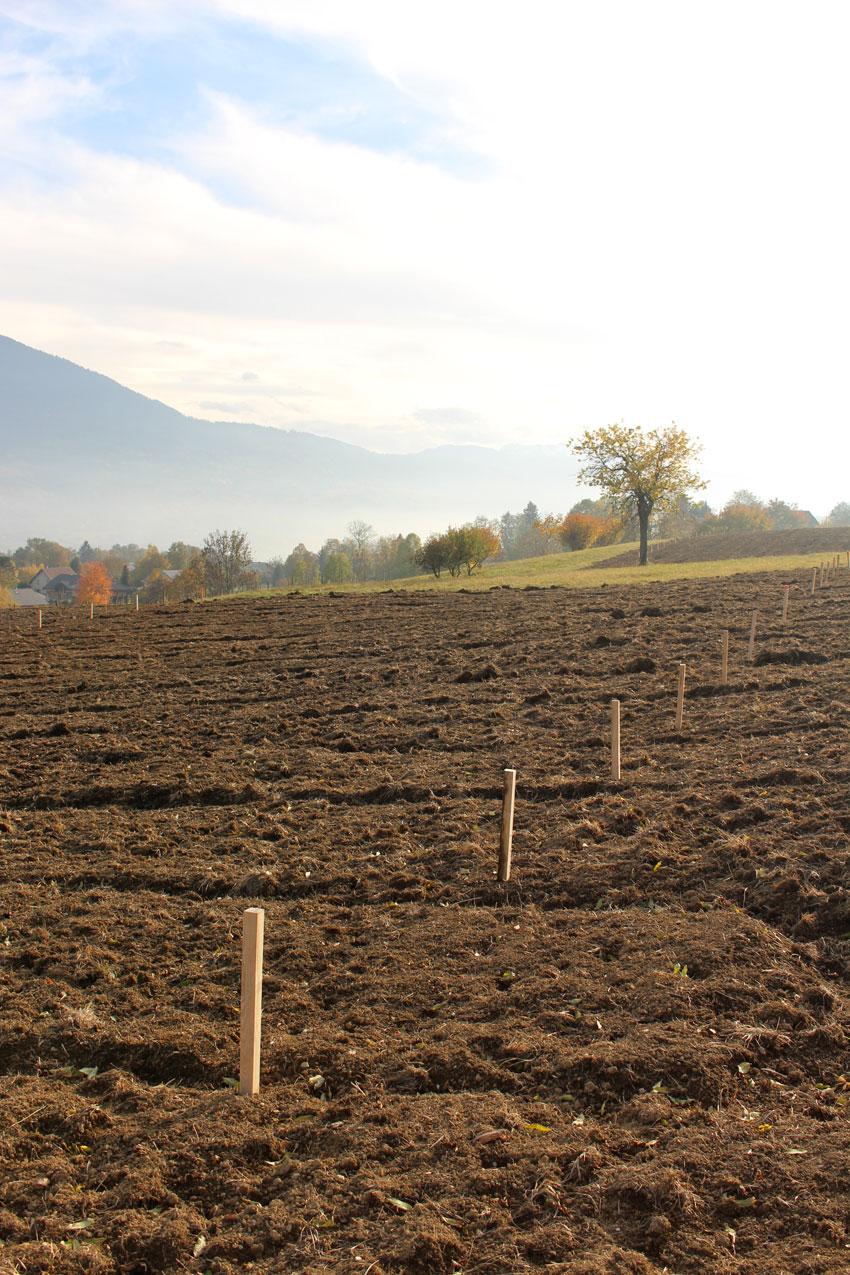 Implantation des lignes de petits fruits avant plantation
